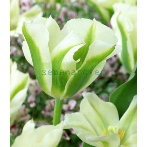 Луковици на Лале (Tulipa) VIRIDIFLORA spring green