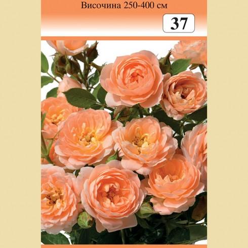 Роза - храстовидна (Номер 37)