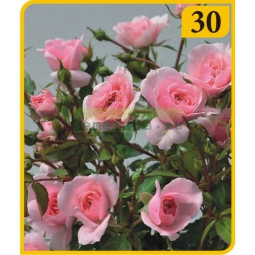 Роза - Бордюрна (Номер 30)