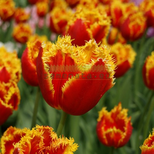 Луковици на Лале (Tulipa) Davenport