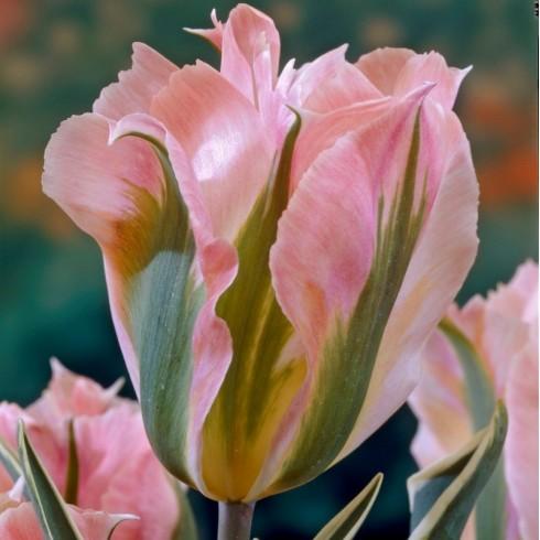 Луковици на Лале (Tulipa) Виридифлора china town
