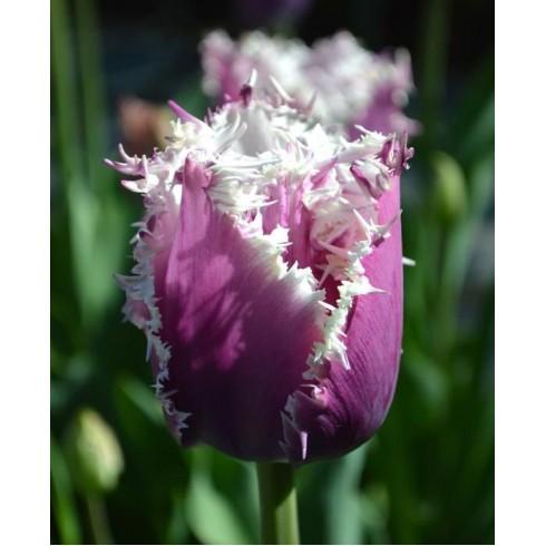 Луковици на Лале (Tulipa) Cummins