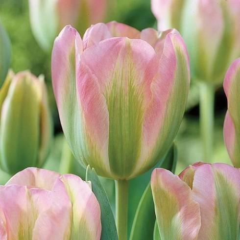 Луковици на Лале (Tulipa) Виридифлора) groenland