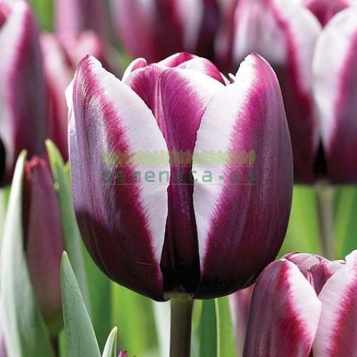 Луковици на Лале (Tulipa) Fontainebleau