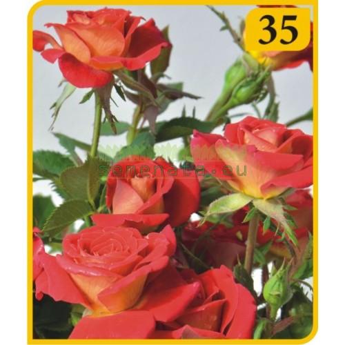 Роза - Бордюрна (Номер 35)