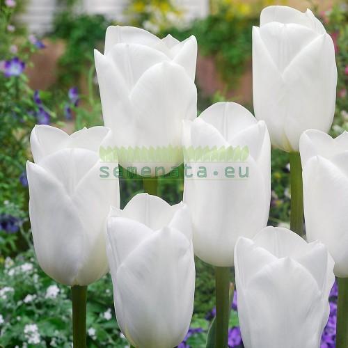 Луковици на Лале (Tulipa) Royal Virgin