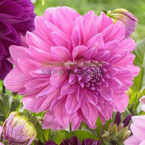 Луковици на Далия Lavender Perfection
