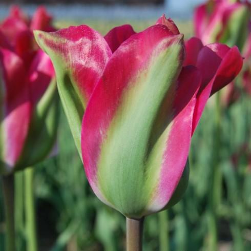 Луковици на Лале (Tulipa) Виридифлора green love