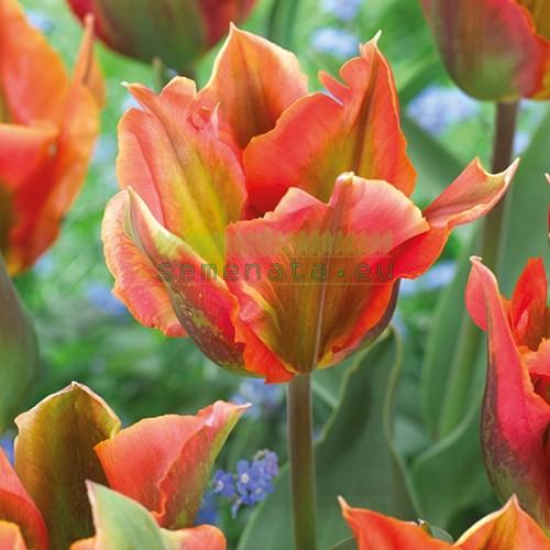 Луковици на Лале (Tulipa) Виридифлора artist