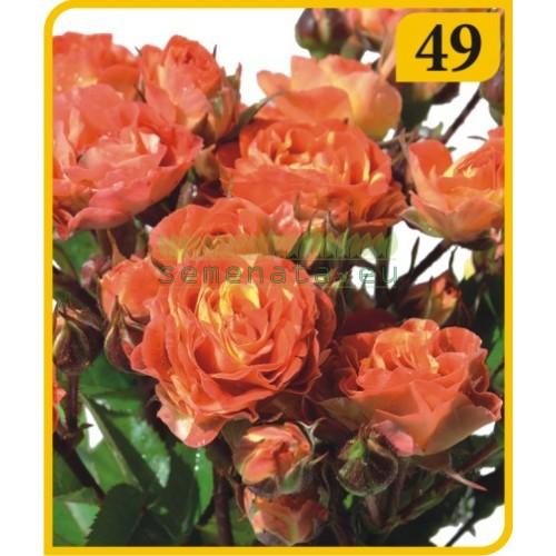 Роза - Бордюрна (Номер 49)