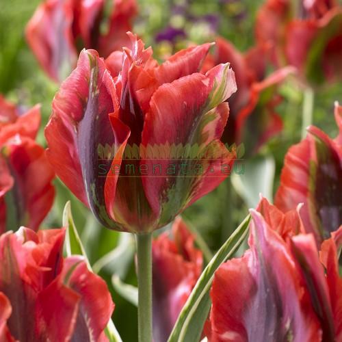 Луковици на Лале (Tulipa) Виридифлора hollywood