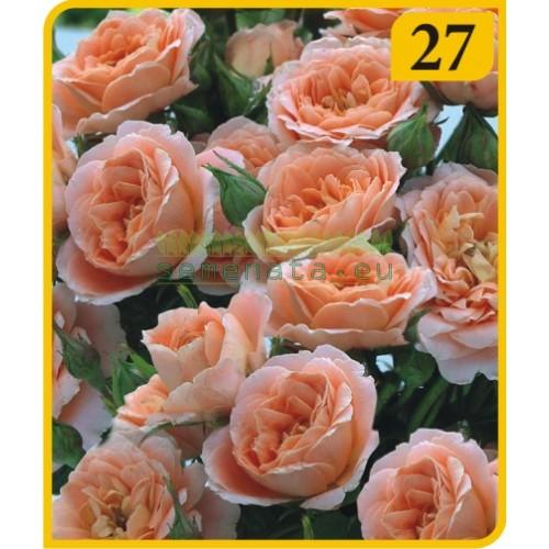 Роза - Бордюрна (Номер 27)