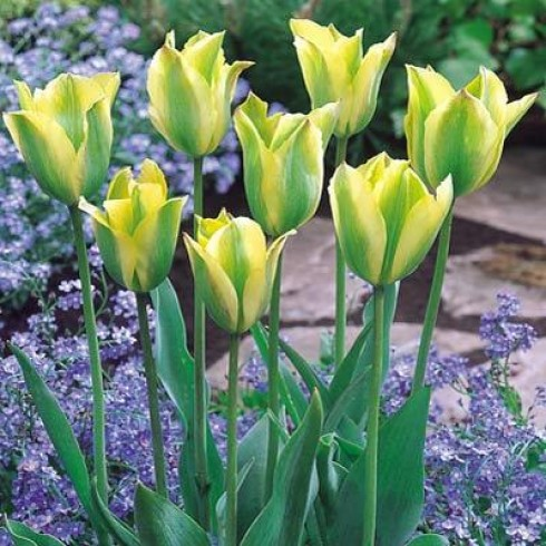 Луковици на Лале (Tulipa) Viridiflora Formosa