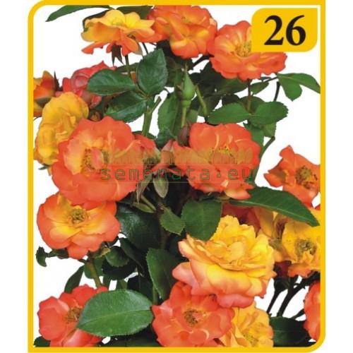 Роза - Бордюрна (Номер 26)