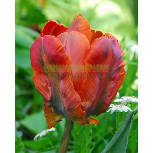 Луковици на Лале (Tulipa) Orange Favorite